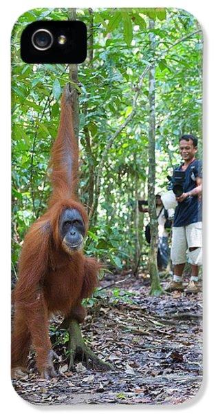 Sumatran Orangutan IPhone 5 Case