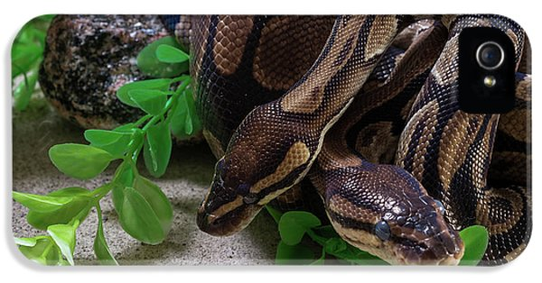 Python iPhone 5 Case - Two Burmese Pythons Python Bivittatus by Panoramic Images