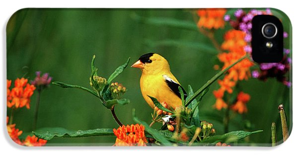 Finch iPhone 5 Case - American Goldfinch (carduelis Tristis by Richard and Susan Day