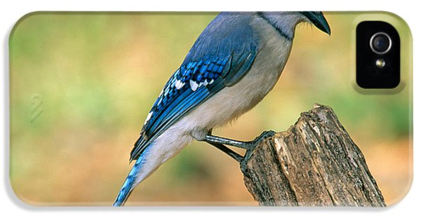 Blue Jay IPhone 5 / 5s Case by Millard H. Sharp