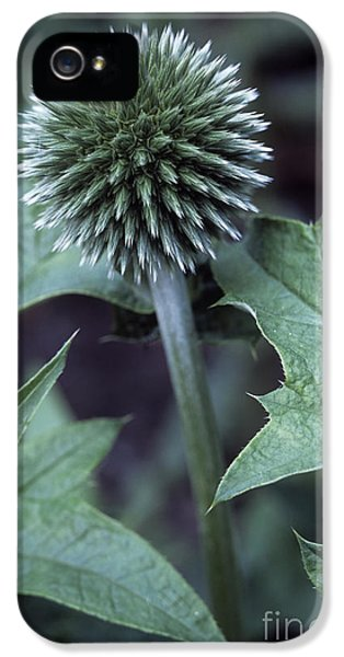Globe Thistle Veitchs Blue IPhone 5 Case by Maxine Adcock