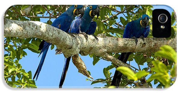 Hyacinth Macaws, Brazil IPhone 5 Case by Gregory G. Dimijian, M.D.