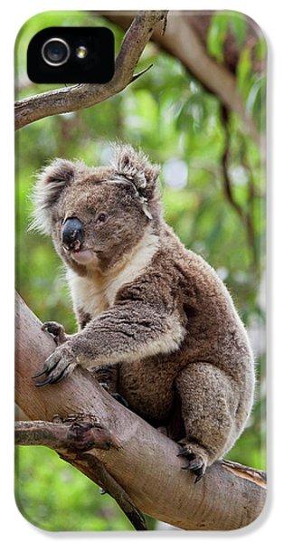 Koala iPhone 5 Case - Koala (phascolarctos Cinereus by Martin Zwick