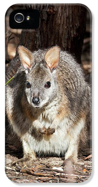 Tammar Wallaby (macropus Eugenii IPhone 5 Case