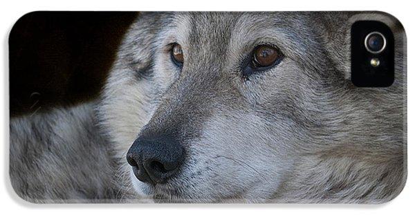 Wolf IPhone 5 Case by Juli Scalzi