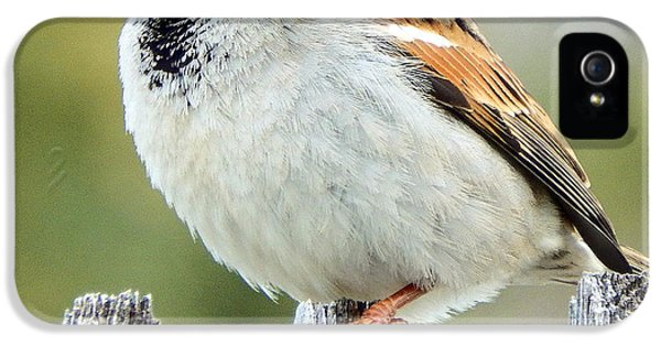 House Sparrow IPhone 5 Case by David G Paul