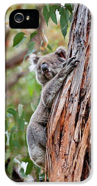 Koala (phascolarctos Cinereus IPhone 5 Case by Martin Zwick