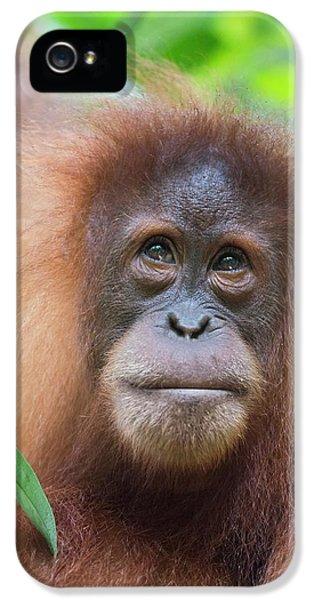Sumatran Orangutan IPhone 5 / 5s Case by Scubazoo