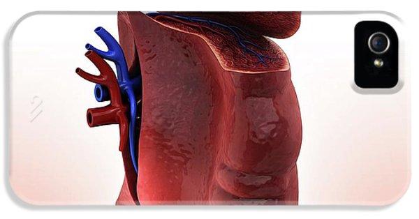 Human Spleen IPhone 5 Case by Pixologicstudio