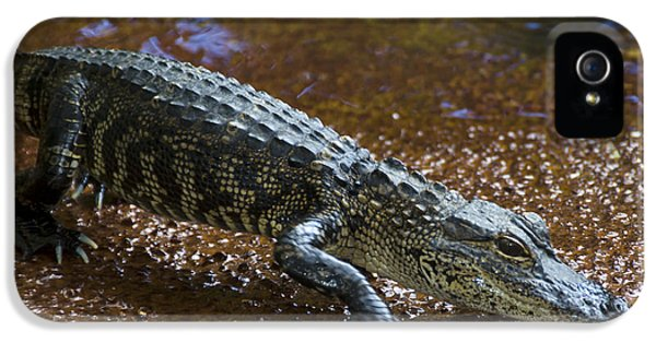 American Alligator IPhone 5 / 5s Case by Mark Newman