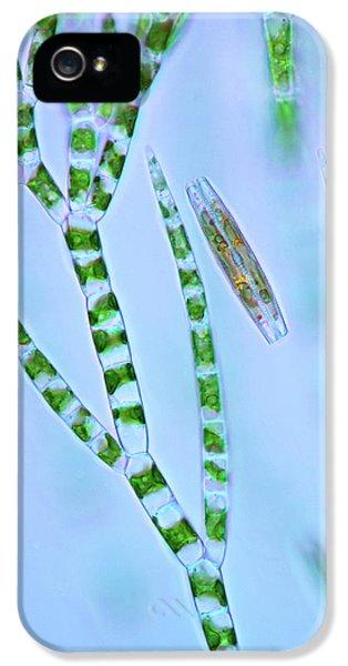 Diatom And Green Algae IPhone 5 Case by Marek Mis