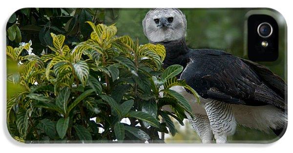 Harpy Eagle Harpia Harpyja IPhone 5 Case