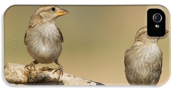 House Sparrow Passer Domesticus Biblicus IPhone 5 Case by Eyal Bartov