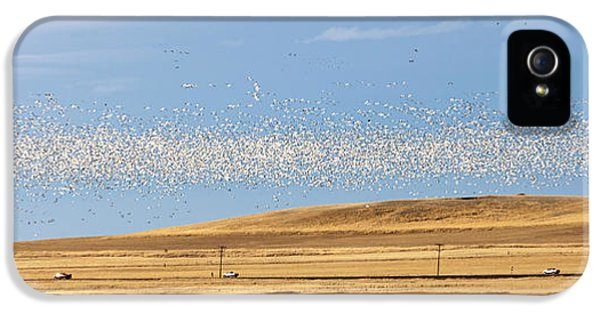 Snow Geese During Spring Migration IPhone 5 Case by Chuck Haney