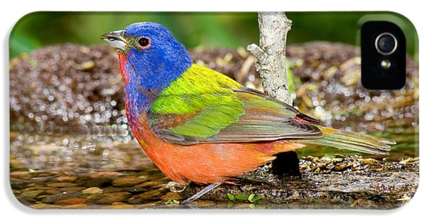 Painted Bunting IPhone 5 Case by Anthony Mercieca
