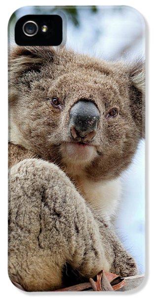 Koala (phascolarctos Cinereus IPhone 5 / 5s Case by Martin Zwick