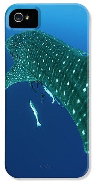 Whale Shark, Cenderawasih Bay, West IPhone 5 Case