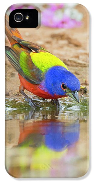 Bunting iPhone 5 Case - Painted Bunting (passerina Ciris by Larry Ditto