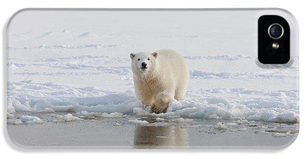 A Curious Young Polar Bear Plays IPhone 5 Case by Hugh Rose