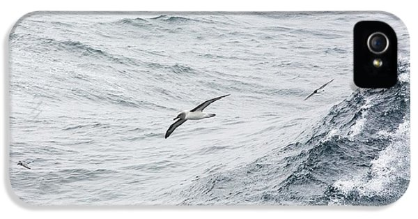 A Grey Headed Albatross IPhone 5 Case by Ashley Cooper