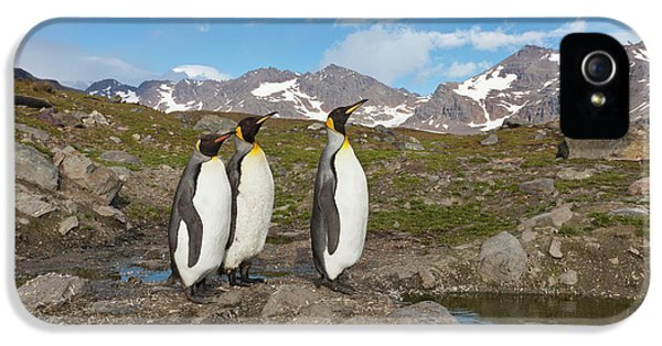 A Group Of Penguins Standing Together IPhone 5 Case by Hugh Rose