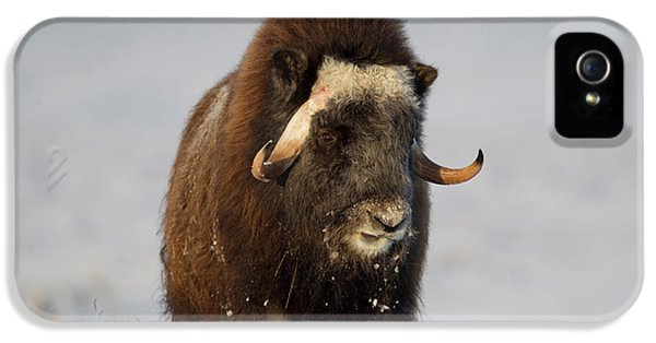 A Lone Musk Ox Bull Browses On Sedges IPhone 5 Case by Hugh Rose