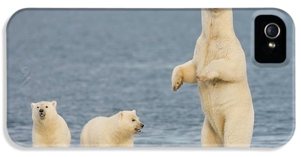 A Pair Of Young Polar Bear Cubs Look IPhone 5 Case by Hugh Rose