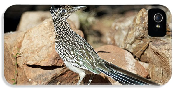 Roadrunner iPhone 5 Case - A Road Runner Pauses Momentarily by Richard Wright