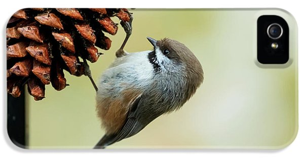 A Small Bird Clings To A Pine Cone IPhone 5 Case by Doug Lindstrand