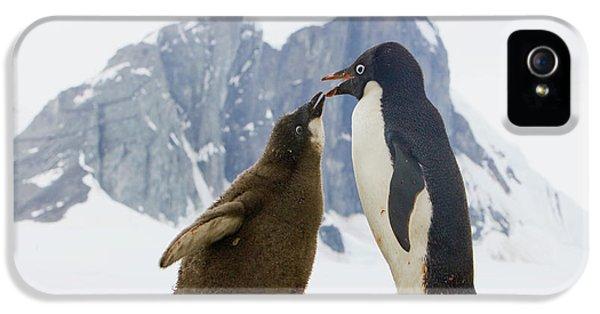 Adelie Penguin Chick Begging For Food IPhone 5 Case by Yva Momatiuk John Eastcott