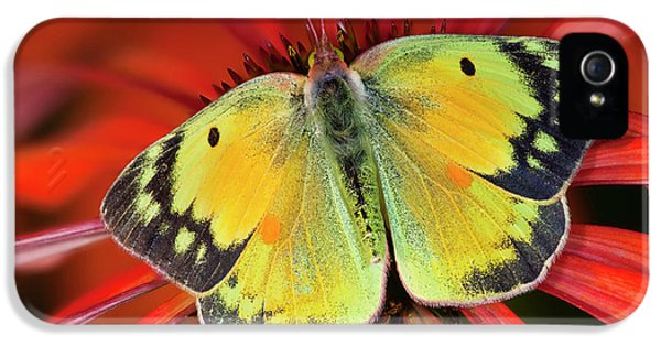 Alfalfa Butterfly On Cone Flower IPhone 5 Case
