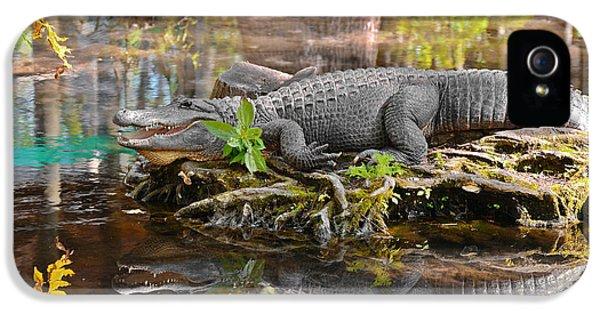 Alligator Mississippiensis IPhone 5 Case by Christine Till