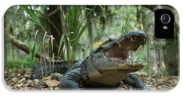 American Alligator (alligator IPhone 5 / 5s Case by Pete Oxford