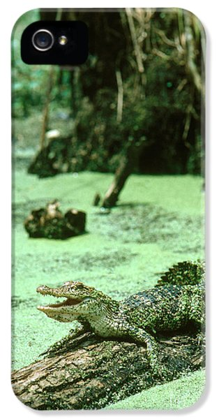 American Alligator IPhone 5 / 5s Case by Gregory G. Dimijian, M.D.