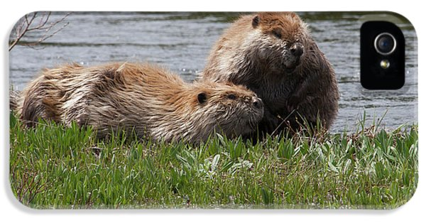 American Beaver Pair IPhone 5 Case