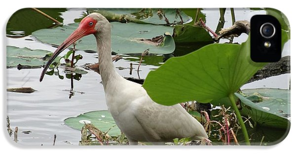American White Ibis In Brazos Bend IPhone 5 Case by Dan Sproul