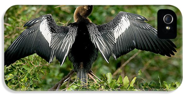 Anhinga Sunning IPhone 5 Case by Anthony Mercieca