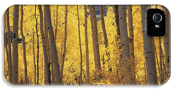 Aspen Trees In Autumn, Colorado, Usa IPhone 5 Case by Panoramic Images