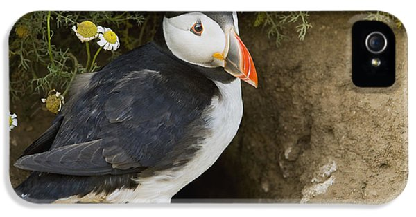 Atlantic Puffin At Burrow Skomer Island IPhone 5 / 5s Case by Sebastian Kennerknecht