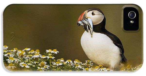 Puffin iPhone 5 Case - Atlantic Puffin Carrying Fish Skomer by Sebastian Kennerknecht
