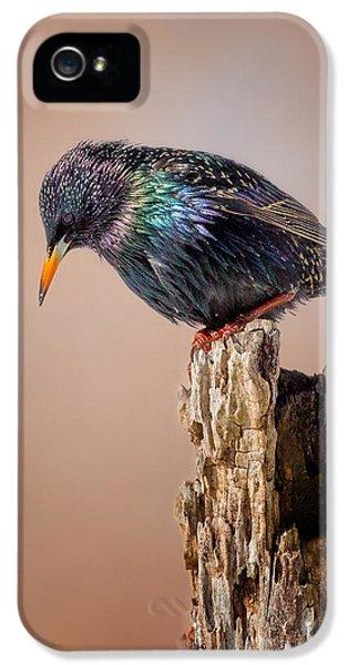Backyard Birds European Starling IPhone 5 Case by Bill Wakeley