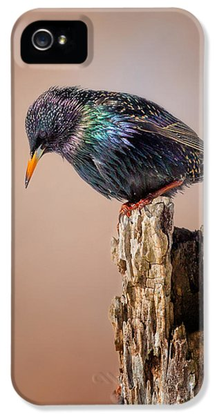 Backyard Birds European Starling IPhone 5 Case by Bill Wakeley