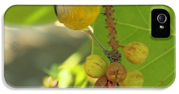 Bananaquit On The Berry Branch IPhone 5 Case by Adam Jewell