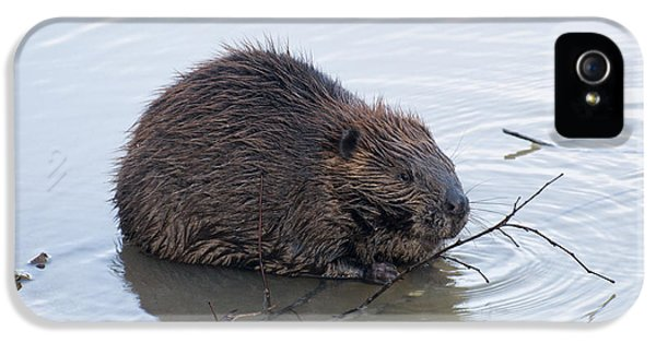 Beaver Chewing On Twig IPhone 5 Case