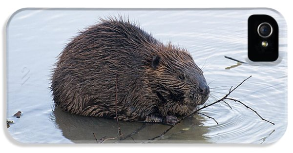 Beaver Chewing On Twig IPhone 5 Case by Chris Flees
