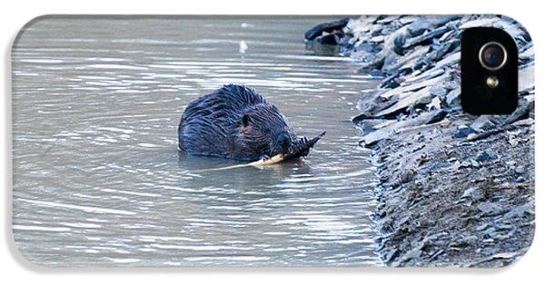 Beaver Chews On Stick IPhone 5 Case