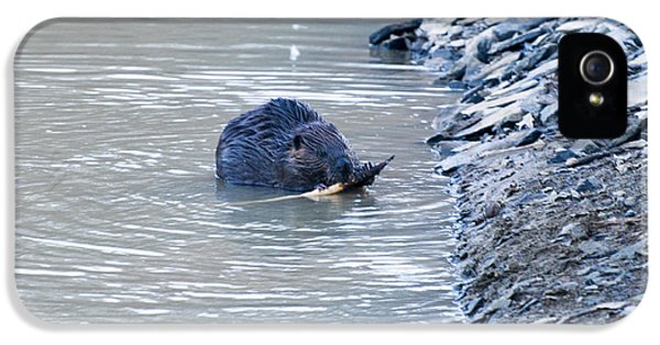Beaver Chews On Stick IPhone 5 Case by Chris Flees