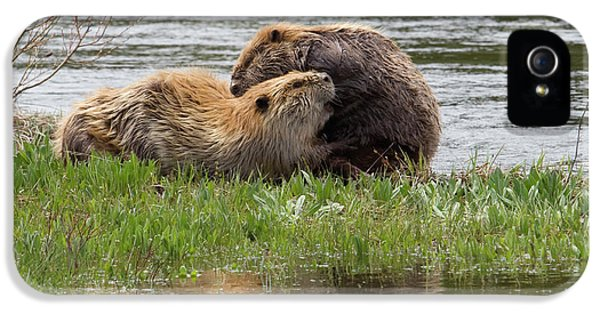Beaver Pair Grooming One Another IPhone 5 Case by Ken Archer