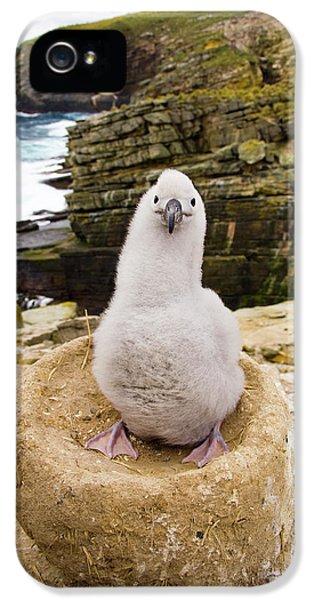 Black-browed Albatross Chick Falklands IPhone 5 Case
