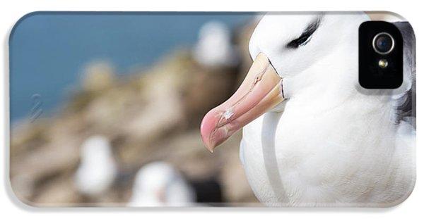Black-browed Albatross (thalassarche IPhone 5 Case by Martin Zwick